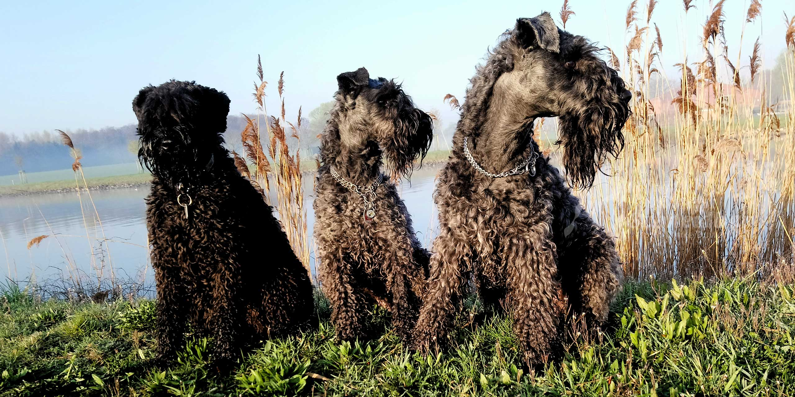Meine Kerry Blue Terrier
